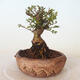 Outdoor bonsai - Ulmus parvifolia SAIGEN - Small-leaved elm - 4/7