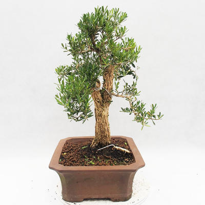 Indoor bonsai - Buxus harlandii - Cork boxwood - 4