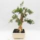 Indoor bonsai - Buxus harlandii - Cork boxwood - 4/7