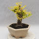 Indoor bonsai -Ligustrum Aurea - Bird's beak - 4/6