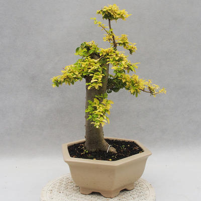 Indoor bonsai -Ligustrum Aurea - Bird's beak - 4