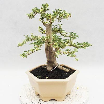 Indoor bonsai -Ligustrum Variegata - Bird's beak - 4