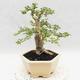 Indoor bonsai -Ligustrum Variegata - Bird's beak - 4/6