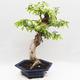 Indoor bonsai -Phyllanthus Niruri- Smuteň - 4/6