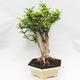 Indoor bonsai -Phyllanthus Niruri- Smuteň - 4/5