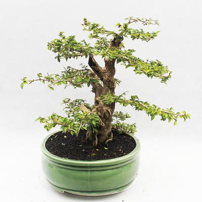 Indoor bonsai - Cudrania equisetifolia - 4
