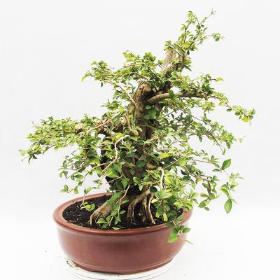Indoor bonsai - Cudrania equisetifolia - 4