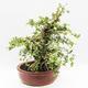 Indoor bonsai - Cudrania equisetifolia - 4/5