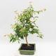 Indoor Bonsai - Australian Cherry - Eugenia uniflora - 4/4
