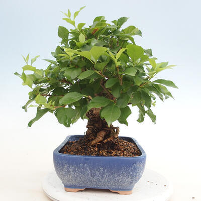 Indoor bonsai -Eleagnus - Hlošina - 4