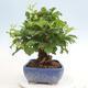 Indoor bonsai -Eleagnus - Hlošina - 4/6