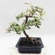Indoor bonsai -Eleagnus - Hlošina - 4/5