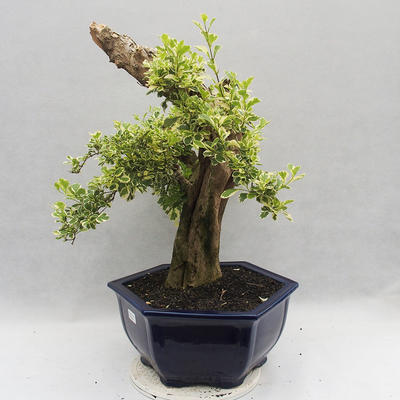 Indoor bonsai - Duranta erecta Variegata - 4