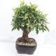 Outdoor bonsai -Malus Halliana - fruited apple - 4/6