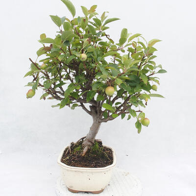 Outdoor bonsai -Malus Halliana - fruited apple - 4