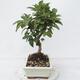 Outdoor bonsai -Malus Halliana - fruited apple - 4/5