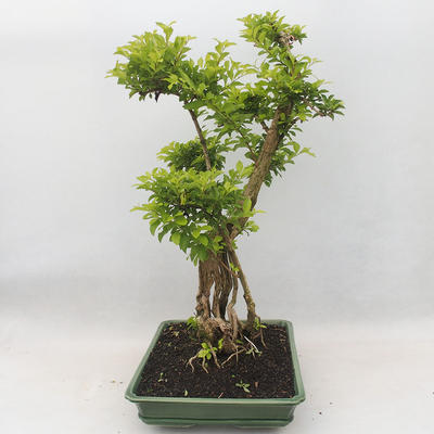Indoor bonsai - Duranta erecta Aurea - 4