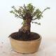 Outdoor bonsai - Ulmus parvifolia SAIGEN - Small-leaved elm - 4/6
