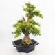Indoor bonsai - Duranta erecta Aurea - 4/6