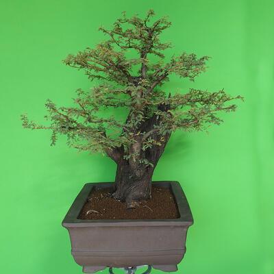 Indoor bonsai - Akacia Arabica - 4