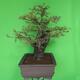 Indoor bonsai - Akacia Arabica - 4/7