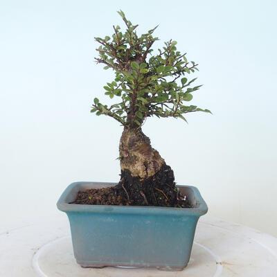 Outdoor bonsai - Ulmus parvifolia SAIGEN - Small-leaved elm - 4