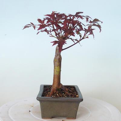 Outdoor bonsai - Acer palm. Atropurpureum-Red palm leaf - 4