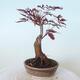 Outdoor bonsai - Acer palm. Atropurpureum-Red palm leaf - 4/6