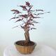 Outdoor bonsai - Acer palm. Atropurpureum-Red palm leaf - 4/5