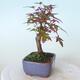 Outdoor bonsai - Maple palmatum DESHOJO - Maple palmate - 4/5
