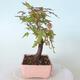 Outdoor bonsai - Maple palmatum sangokaku - Maple palm leaf - 4/5