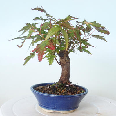 Outdoor bonsai - Maple palmatum sangokaku - Maple palm leaf - 4