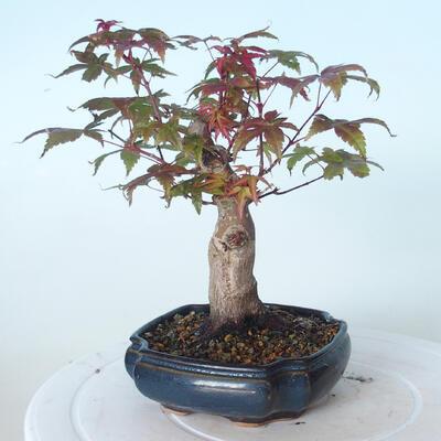 Outdoor bonsai - Maple palmatum DESHOJO - Maple palmate - 4
