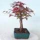 Outdoor bonsai - Maple palmatum DESHOJO - Maple palmate - 4/6