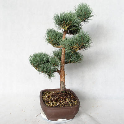 Outdoor bonsai - Pinus sylvestris Watereri - Scots pine VB2019-26848 - 4