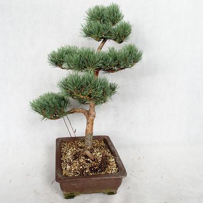Outdoor bonsai - Pinus sylvestris Watereri - Scots pine VB2019-26852 - 4