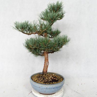 Outdoor bonsai - Pinus sylvestris Watereri - Scots pine VB2019-26859 - 4