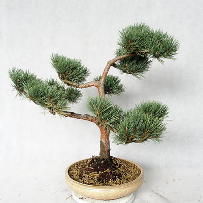 Outdoor bonsai - Pinus sylvestris Watereri - Scots pine VB2019-26868 - 4