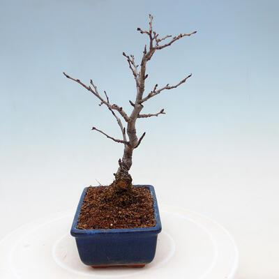 Outdoor bonsai - Pinus sylvestris Watereri - Scots pine VB2019-26870 - 4
