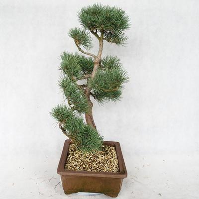 Outdoor bonsai - Pinus sylvestris Watereri - Scots pine VB2019-26878 - 4