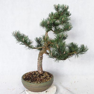 Outdoor bonsai - Pinus Mugo - Pine kneel VB2019-26886 - 4