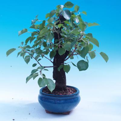 Outdoor bonsai - Prunus mahaleb - 4