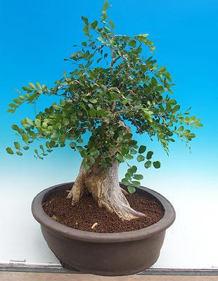 Room bonsai - Muraya paniculata - 4