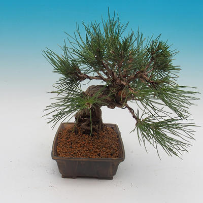 Pinus thunbergii - Pine thunbergova - 4