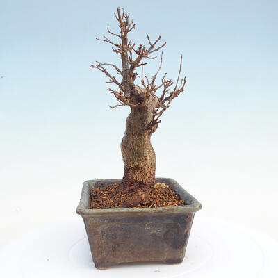 Outdoor bonsai - Buergerianum Maple - Burger Maple - 4