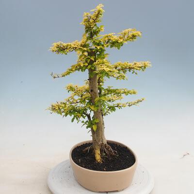 Indoor bonsai -Ligustrum Aurea - Bird's beak - 4