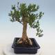 Indoor bonsai - Buxus harlandii - Cork boxwood - 4/6