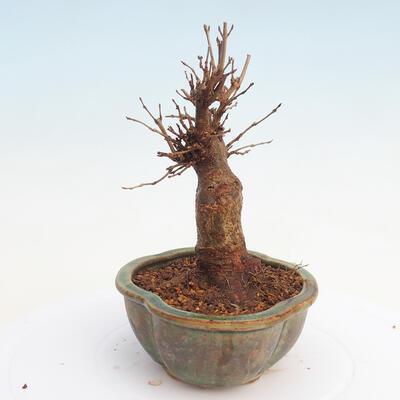 Outdoor bonsai - Buergerianum Maple - Burger Maple - 4