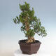 Indoor bonsai - Buxus harlandii - Cork boxwood - 4/5