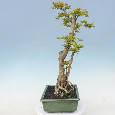 Indoor bonsai - Duranta erecta Aurea - 4